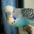 виды волнистых попугаев