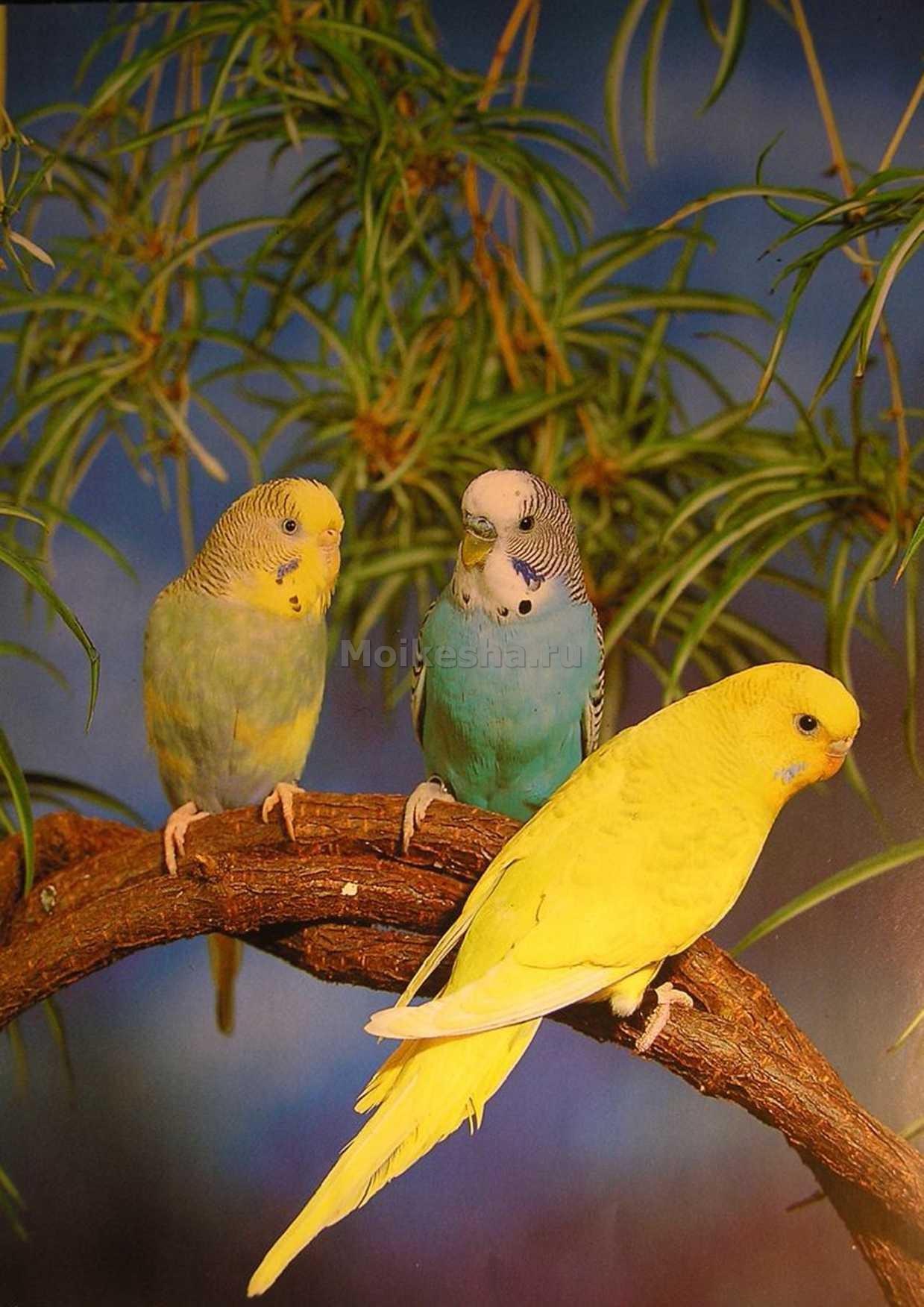 виды волнистых попугаев фото и названия молодожены