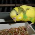 волнистый попугай ест зерна