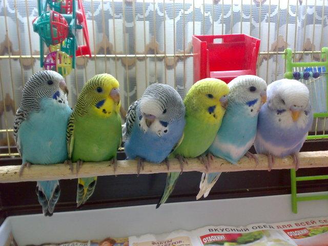 птенцы на продажу волнистые попугаи