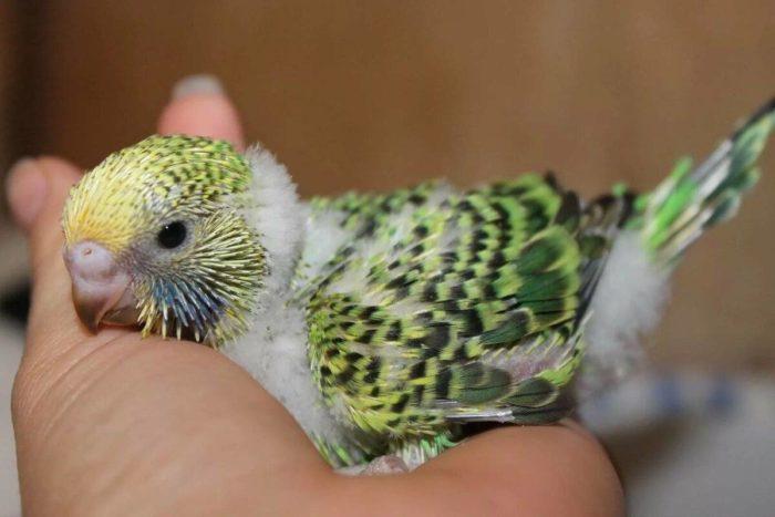 Определяем возраст попугая