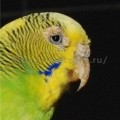 волнистый попугай заболел