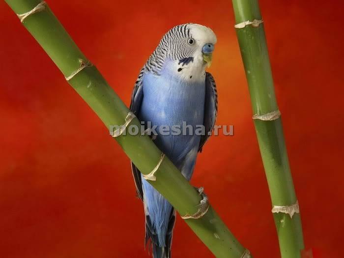 клички для волнистых попугаев