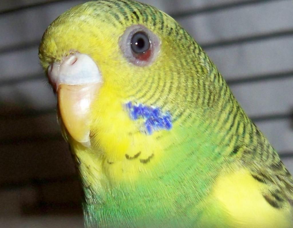 Болезнь попугаев волнистых в картинках