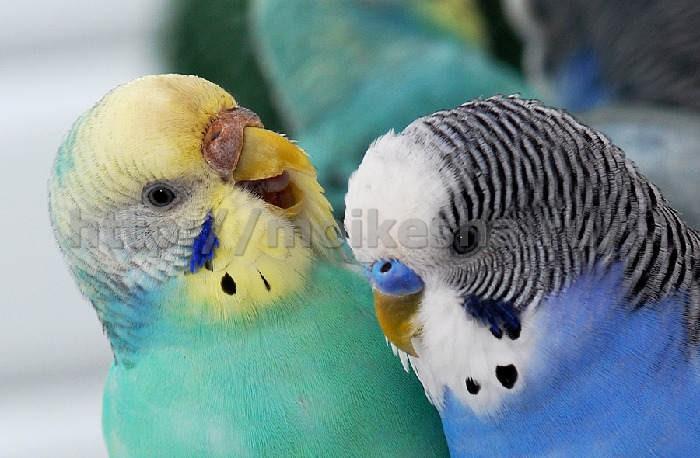попугай волнистый мальчик