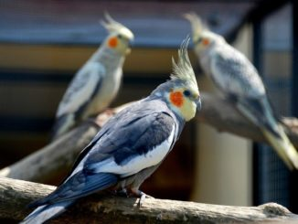 Попугаи корелла сидят на ветках