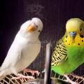 волнистые попугаи в природе