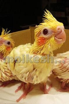 разведение попугаев корелла
