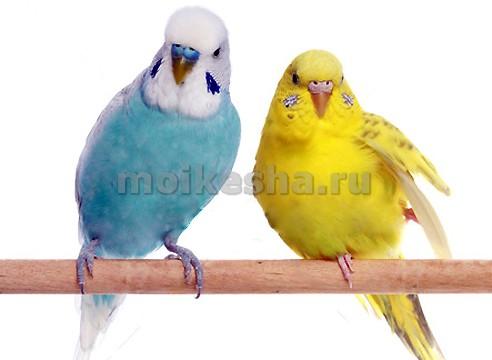 понос у попугая волнистого