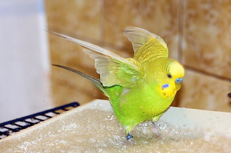 как правильно купать попугая волнистого