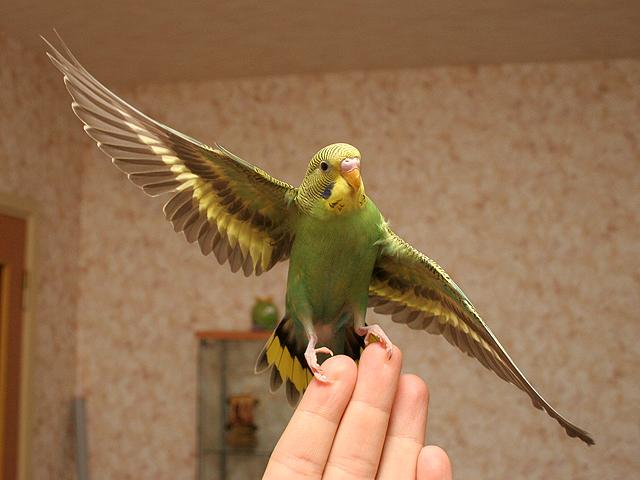 как научить попугая волнистого танцевать