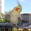 разговаривают ли попугаи корелла