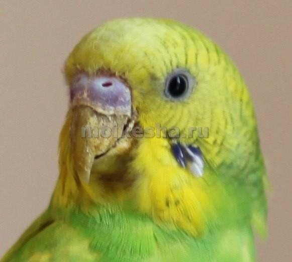 клюв волнистого попугая