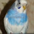 волнистый попугай теряет перья