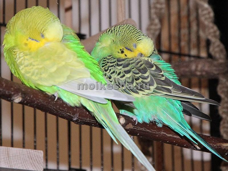 сколько спят волнистые попугаи
