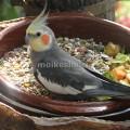 кормление попугаев корелла