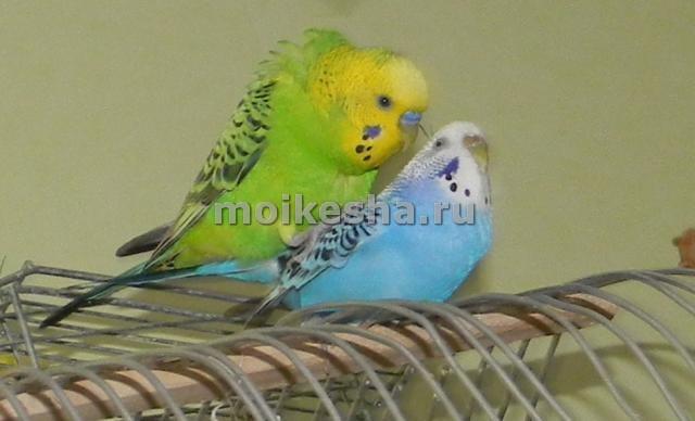 как происходит спаривание волнистых попугаев