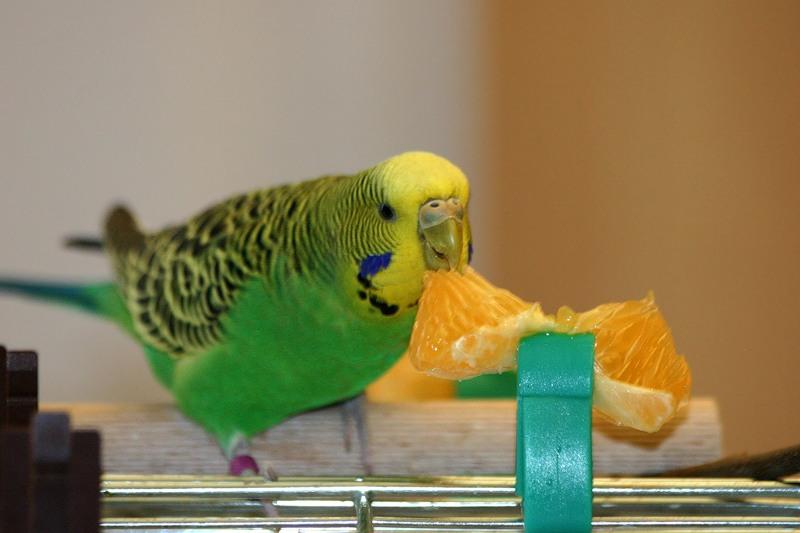 волнистый попугай кушает