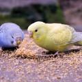 что любят волнистые попугайчики