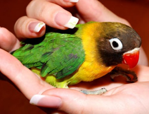 попугай неразлучник ручной