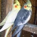 Попугай корелла имена