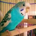 Волнистый попугай живет один