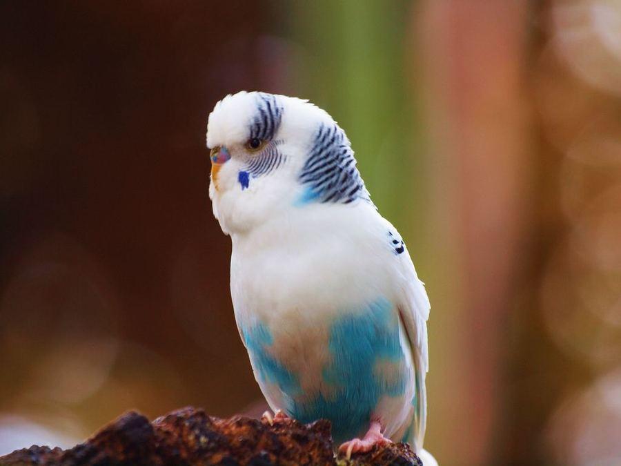 Слоится клюв волнистого попугая
