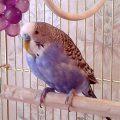 Подрезаем клюв волнистому попугаю