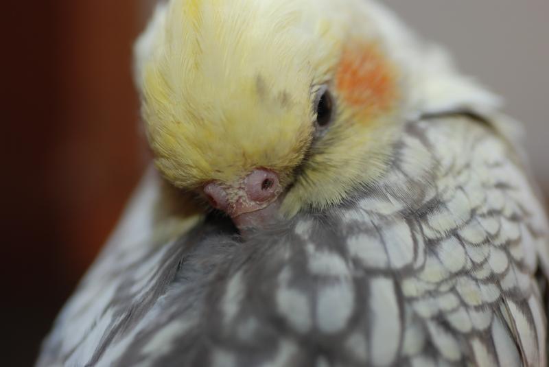корелла щипает перья