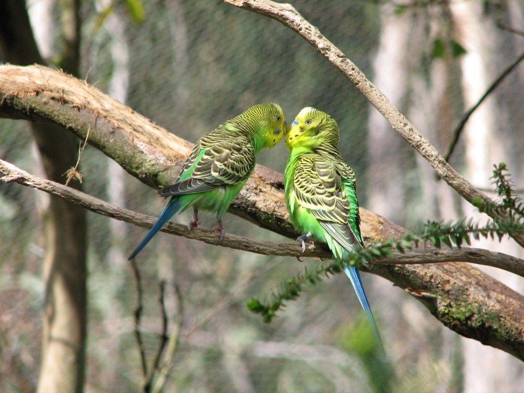Волнистые попугаи в природе картинки