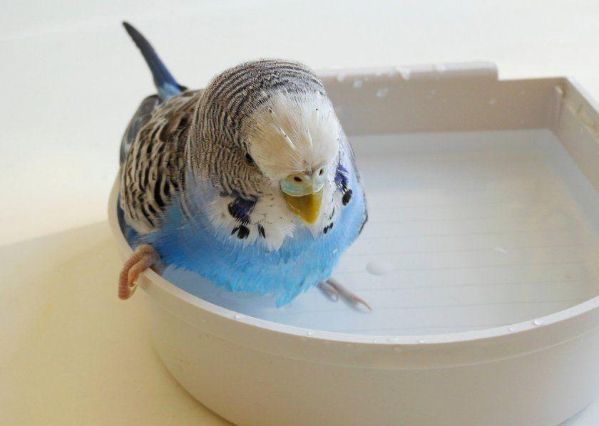 Попугайчик купается