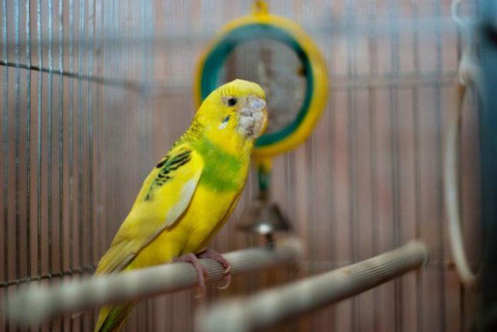 Попугай зараженный клещом