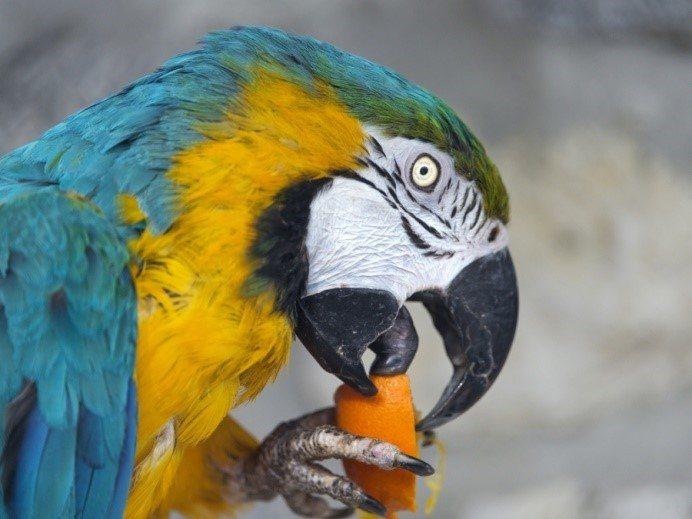 Попугай ара ест