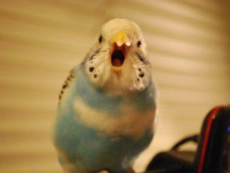 Волнистый попугай поет