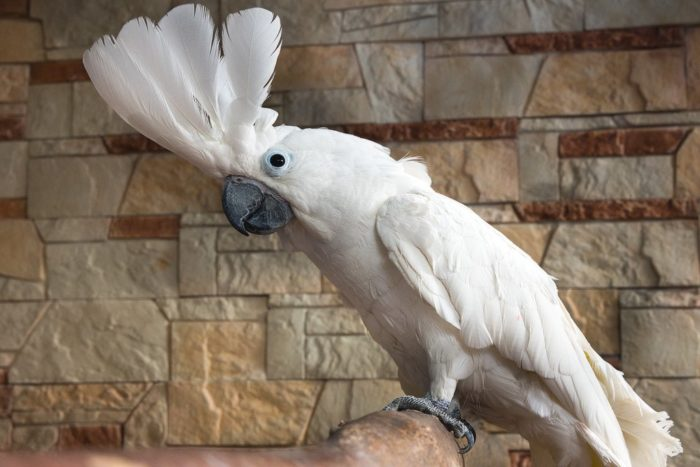 Белохохлый попугай