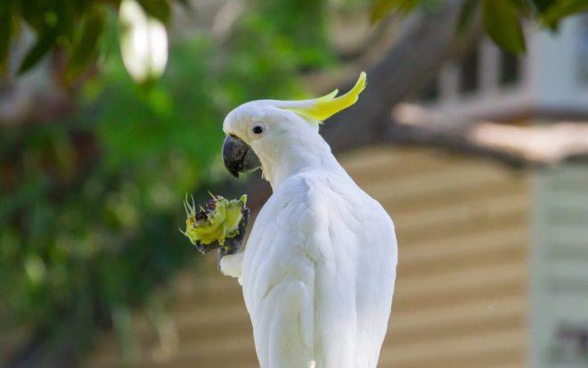 Какаду ест фрукт