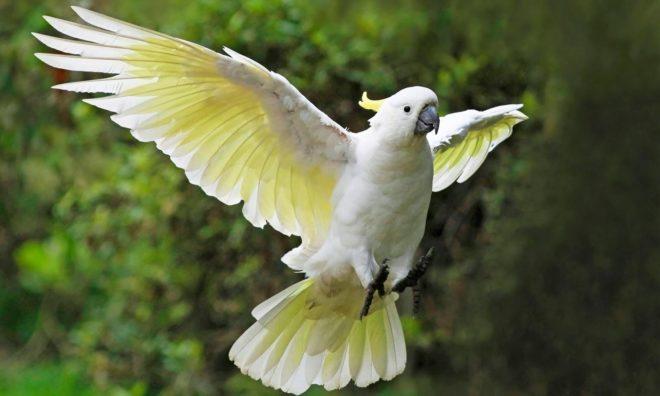 Попугай какаду в полете