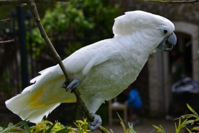 Попугай Альба сидит на ветке