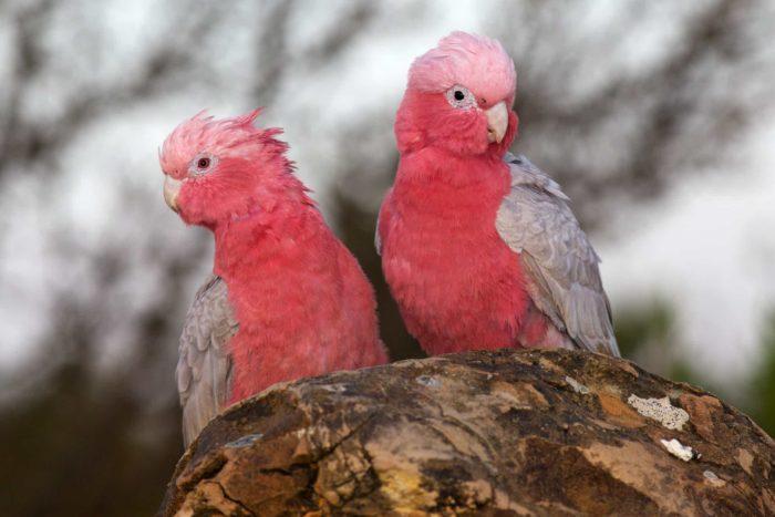 Пара розовых какаду