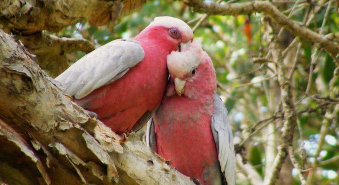 Период размножения у попугаев Гала