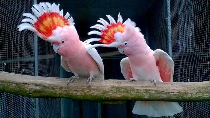 Попугай Гала в вольере
