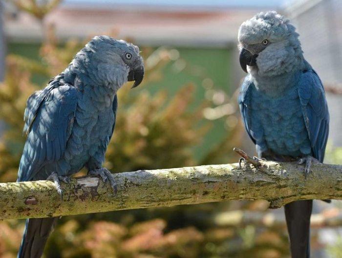 Голубые ара в вольере
