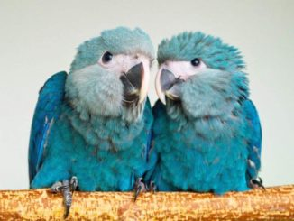Молодые попугайчики Ара Спикса