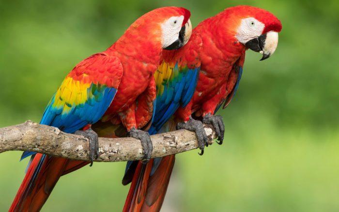 Красный ара араканга