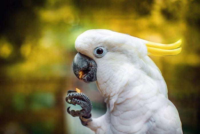 Малый желтохохлый какаду кушает