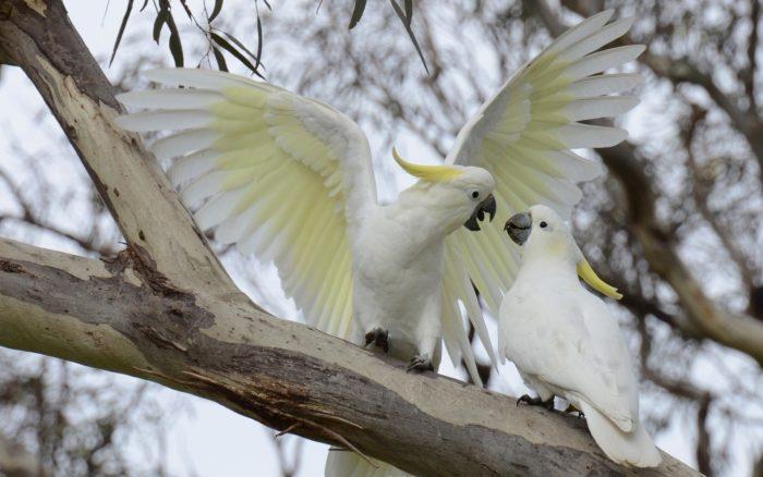 Период размножения у какаду