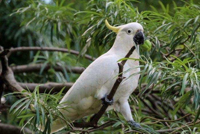 Какаду в природной среде
