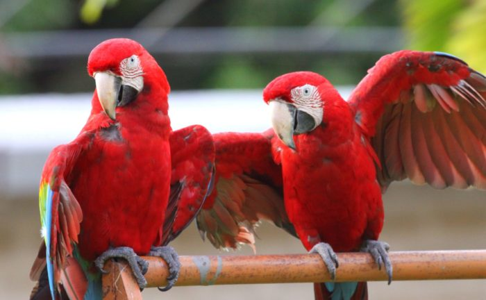 Красный ара танцует перед самкой