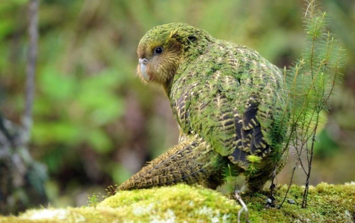 Нелетающий попугай сидит на земле