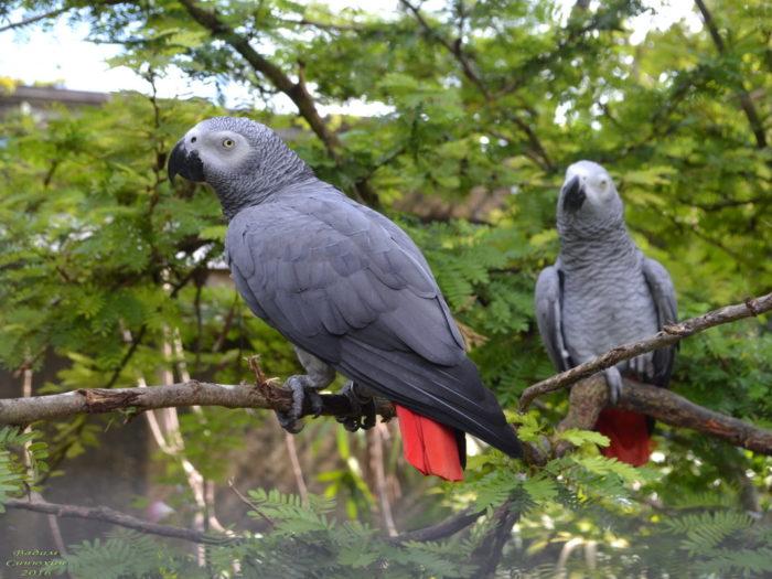 Попугаи краснохвостые